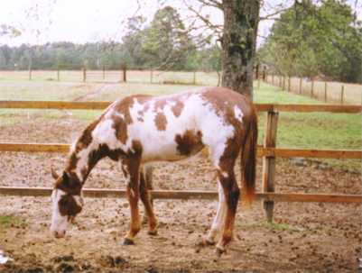 Candy as a yearling