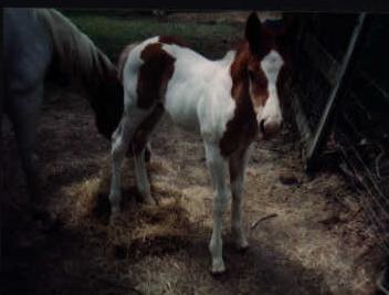 Chili as a weanling