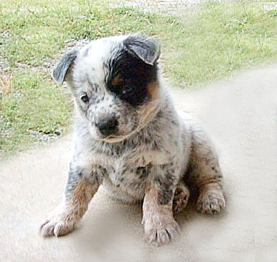 Australian Cattle Dog Australian Cattle Dogs American